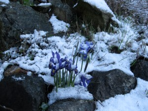Snow covered iris