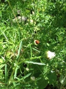 A ladybug on a daisy
